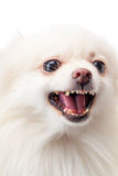 White pomeranian barking Royalty Free Stock Photos