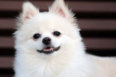 White pomeranian dog Stock Photography