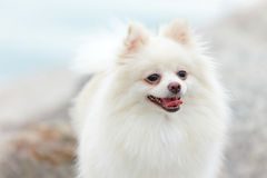 White pomeranian dog Royalty Free Stock Image