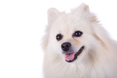 White pomeranian dog close up face Stock Images