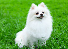 White Pomeranian dog on grass Stock Image
