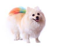 White pomeranian dog Royalty Free Stock Photography