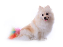 White pomeranian dog Royalty Free Stock Photo