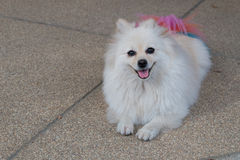 White pomeranian dog grooming with colourful tail Royalty Free Stock Photography