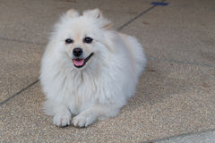 White pomeranian dog grooming with colourful tail Stock Photo