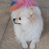White pomeranian dog grooming with colourful tail Stock Photos