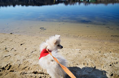 White pomeranian dog in red sweater on a leash looking away on t Stock Image