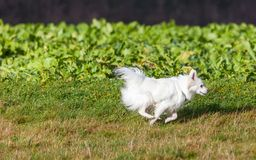 White Pomeranian dog running Stock Images