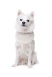 White pomeranian dog Royalty Free Stock Image