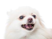 White pomeranian feel angry Royalty Free Stock Photos