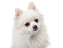 White pomeranian feeling curiosity Royalty Free Stock Photography