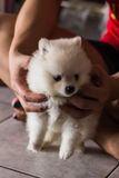White Pomeranian on Hand Stock Photography