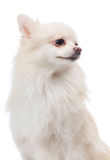 White pomeranian looking aside Royalty Free Stock Images