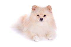White pomeranian puppy dog Royalty Free Stock Image