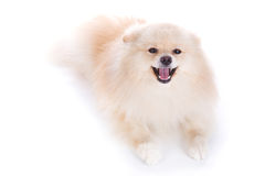 White pomeranian puppy dog Stock Photos
