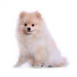 White pomeranian puppy dog, cute pet Stock Image