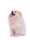 White pomeranian puppy dog, cute pet Stock Photography