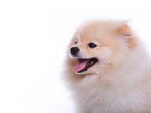 White pomeranian puppy dog, cute pet Stock Images