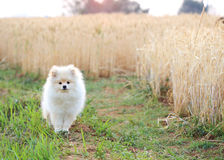 White pomeranian puppy dog Royalty Free Stock Images