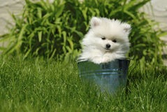 White Pomeranian Puppy in Metal Pail Royalty Free Stock Photos