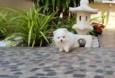 White pomeranian puppy Royalty Free Stock Photography