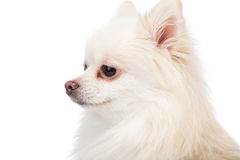 White pomeranian side profile Stock Images