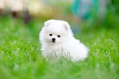 White pomeranian spitz puppy sitting in the grass. High resolution photo royalty free stock images