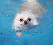 White pomeranian swimming Royalty Free Stock Images