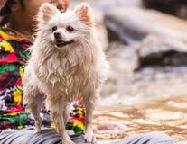White pomeranian wet, dog pet stock photography
