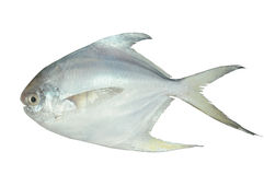 White Pomfret Stock Photo