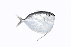 White Pomfret fish Royalty Free Stock Photos