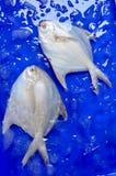 White Pomfret Fish Stock Photos