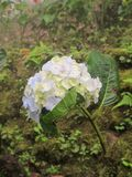White hydrangea. 