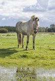 White poney in the field Stock Images