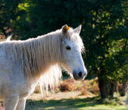 White  pony. Beautiful white  pony in  field Royalty Free Stock Image
