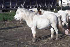 White pony stock images