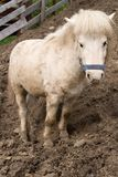 White Pony Stock Image