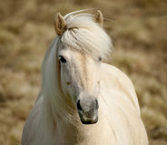 White Pony Stock Photography