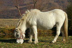 White pony. A white pony grazing in field Royalty Free Stock Photos