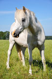 White Pony Stock Photos
