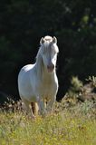 White pony Royalty Free Stock Image