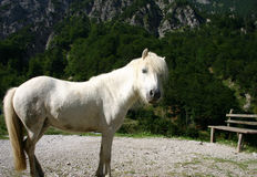 White pony. In the austrian mountains Royalty Free Stock Photo
