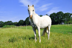 White Pony. A beautiful white Pony looking at the camera Stock Image