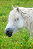 White Pony Stock Photos