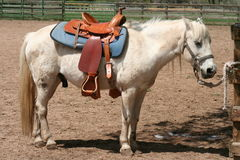 White Pony. Waiting in corral for next rider Stock Images