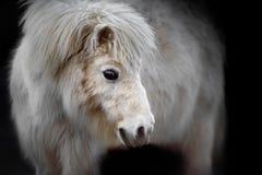 White Pony on Black Background Stock Image