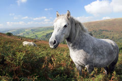 White pony on Chinkwell Tor Royalty Free Stock Image