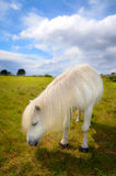 White pony eating grass. In green meadow with blue sky and some clouds stock photography