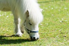 Free White Pony Eating Grass On Meadow Royalty Free Stock Photo - 90754605