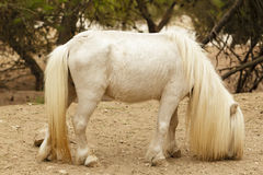 White pony with long hair Royalty Free Stock Image